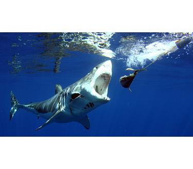 Quintessentially 1 - Bucea con el gran tiburón blanco