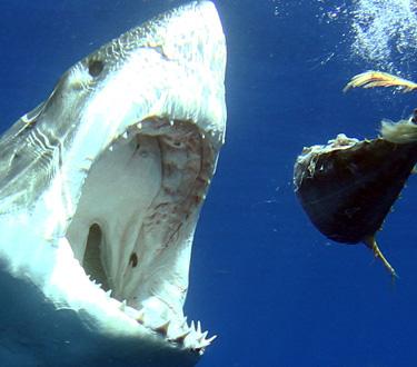 Quintessentially 2 - Bucea con el gran tiburón blanco